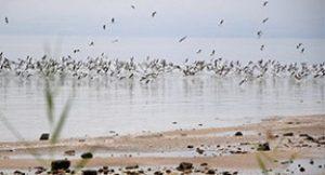 עופות מים בכינרת