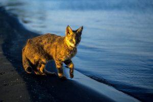 חתול ביצות בחוף הכינרת צילום: איל ברטוב