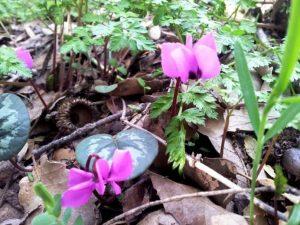 פריחת רקפות יווניות ביער אודם צילום: יעל סלע